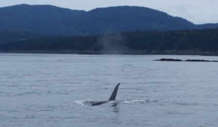 The fin of an orca whale on a whale watch in Washington state